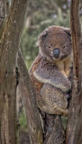 Koala After a Hail Storm
