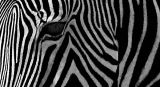 Textured Zebra