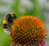 Bumble Bee on an Eastern Coneflower