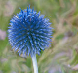 Smudged Globe Thistle