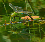 Reflections of a Dragonfly Laying Eggs