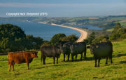 Cattle at Strete