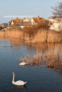 Torcross swan