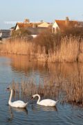 Swans on the Ley at Torcross