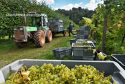 Grape Harvest Sharpham