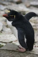 Rockhopper Penguin drying its wings