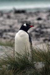Gentoo Penguin in Grass