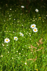 DAISY IN SUMMER MEADOW