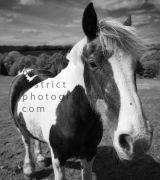 STUDY OF HORSE IN BLACK AND WHITE