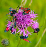 Five and Six Spot Burnets on Greater Knapweed