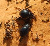 Sacred Scarab Beetles