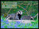 Sow and 2 Cubs on the Clacks border