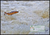A Leap of Faith (Brown trout)