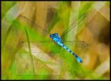 Azure Damselfly, Aberdona ponds, Clacks