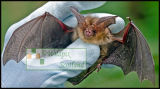 Brown Long Eared Bat - Licenced check