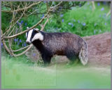 The Sow Badger