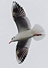 Black headed gull flyby