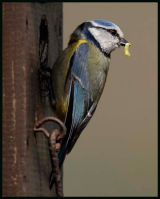 Male Blue tit with Caterpillar for Female