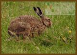 Brown Hare jog