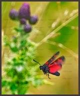6 Spot Burnet Moth near Forestmill