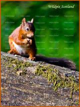Red Squirrels in Clackmannanshire