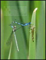Damselfly Connections