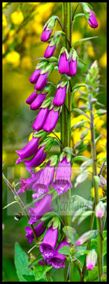 Foxglove foray by a White tailed bumble bee