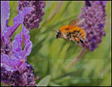 Common Carder on garden Lavender, Clacks