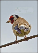 Goldfinch - need to improve on this one