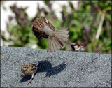 Mating House Sparrows attacked by jealous male