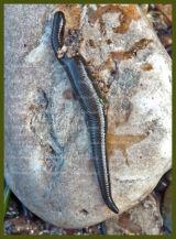 Common Horse Leech - Aberdona ponds - May