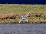 Swan synchro pair
