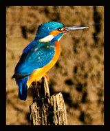 Stunning male Kingfisher at  sunset on the Devon, Clacks