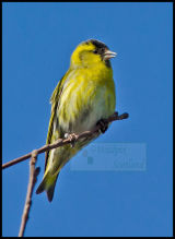 Male Siskin. Notice the ring on his right leg