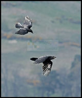 Raven attacked from above by Carrion Crow