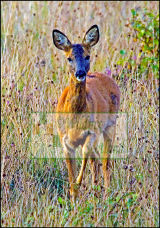 Encounter with a Roe deer at Aberdona ponds, Clacks