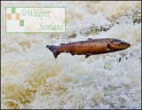 Brown Trout leap at Dollar Weir