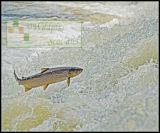 Specimen Sea Trout
