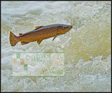 A large Brown Trout