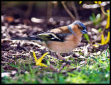 Springtime Male Chaffinch