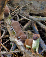 Follow me - Stoat with Kits near Tillicoultry