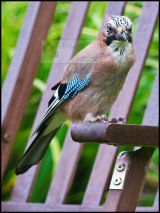 Jay in the back garden