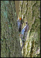Tree Creeper and Chick constantly moving