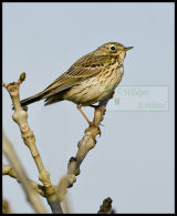 Meadow Pipit up a tree or  is it a Tree Pipit?