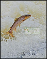 Brown Trout in great condition
