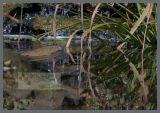 Water Vole in the Garden Pond