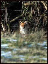 Wild winter fox  in Dollar woods