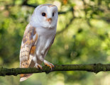 Barn Owl-1