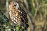 Tawny Owl-1