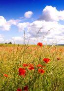 Poppies - a field nr  Bledlow